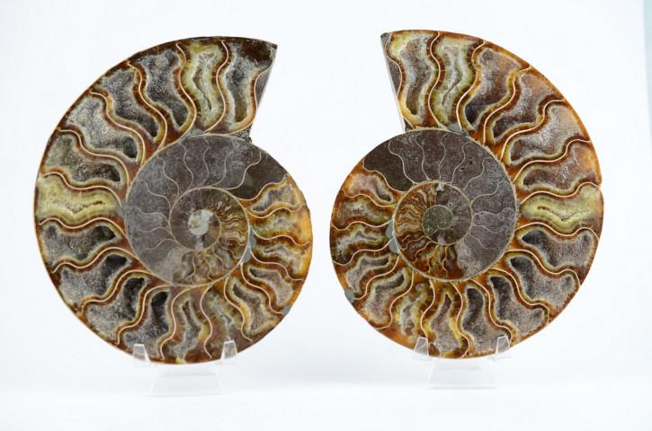 Ammoniten Paare Madagaskar, 150 - 170 mm